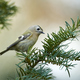 Goldcrest (Regulus regulus) - PhotoDune Item for Sale