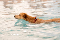 Fawn dog is swimming in the pool - PhotoDune Item for Sale