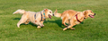 Two Golden Retriever running on grass - PhotoDune Item for Sale