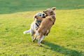 Two happy Golden Retriever dogs playing - PhotoDune Item for Sale