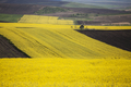 Rape field in summer - PhotoDune Item for Sale
