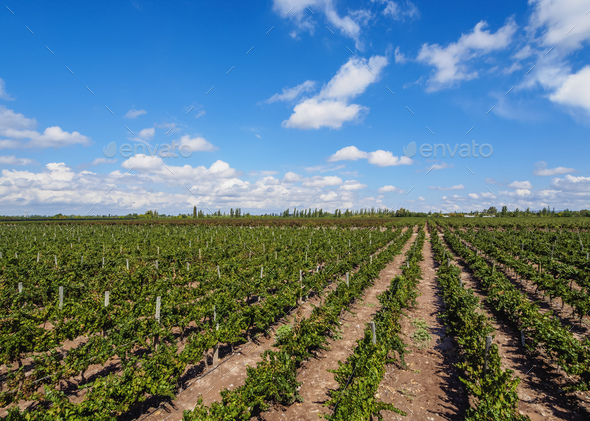 Vineyard in Mendoza Province, Argentina - Stock Photo - Images