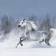Grey arabian horse galloping during snowstorm - PhotoDune Item for Sale