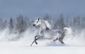 Grey arabian horse galloping during snowstorm - PhotoDune Item for Sale