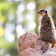Meerkat in the wild  - PhotoDune Item for Sale