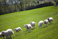 Sheep in spring field - PhotoDune Item for Sale