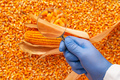 Scientist examining quality of harvested corn seed kernels - PhotoDune Item for Sale