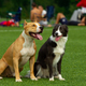 Dogs sit on the background of green grass on the football field - PhotoDune Item for Sale