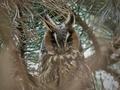 Long-eared owl (Asio otus) - PhotoDune Item for Sale