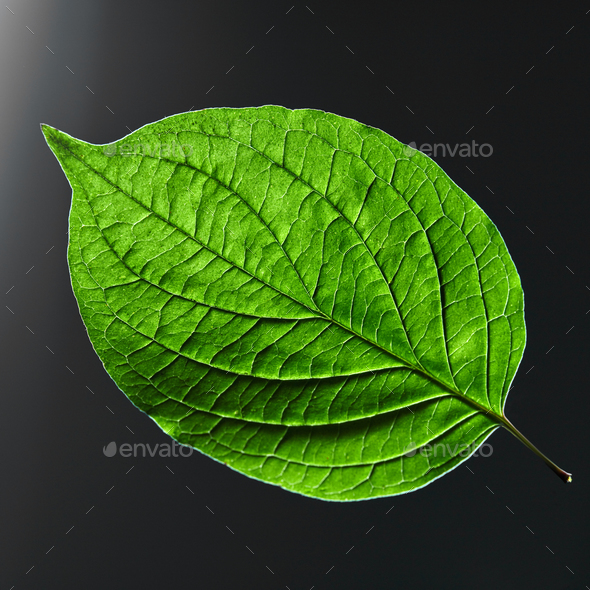 Beautiful green leaf with a natural veining pattern on a black background with copy space. Flat lay - Stock Photo - Images
