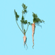 Green parsley stalks with a root on a blue background with copy space. Healthy vegetable. Flat lay - PhotoDune Item for Sale