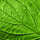 Green leaf. Detailed macro photo as a natural layout for your ideas. Flat lay - PhotoDune Item for Sale