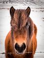 Icelandic horses in winter, Iceland - PhotoDune Item for Sale