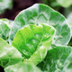 Leaves of kale on plantation - PhotoDune Item for Sale