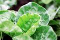 Leaves of kale on plantation - PhotoDune Item for Sale