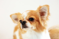 Dog with a white background - PhotoDune Item for Sale