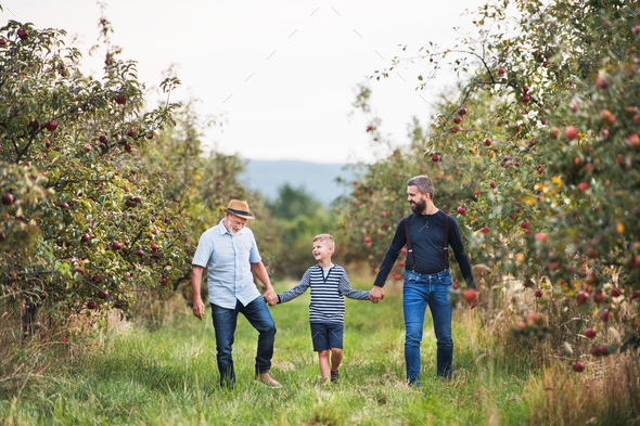 A small boy with father and grandfather walking in apple orchard in autumn. - Stock Photo - Images