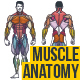 Muscle Anatomy Сhart - GraphicRiver Item for Sale