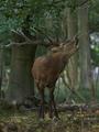 Red deer (Cervus elaphus) - PhotoDune Item for Sale