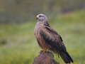Black kite (Milvus migrans) - PhotoDune Item for Sale