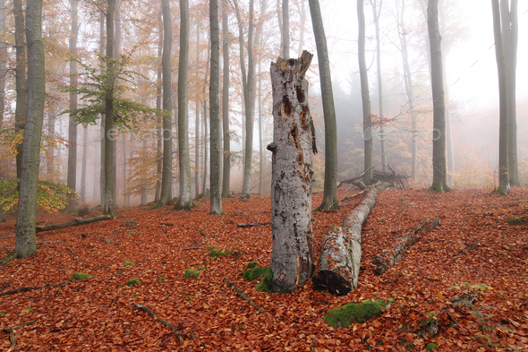 Beech forest in autumn - Stock Photo - Images
