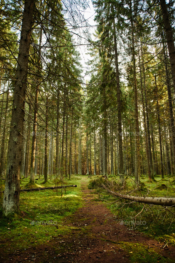 Path through a pine forest - Stock Photo - Images