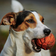 Jack Russell with orange ball in his mouth - PhotoDune Item for Sale