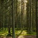 Sunlight streaming through a pine forest - PhotoDune Item for Sale