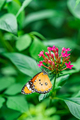 Plain tiger butterfly - PhotoDune Item for Sale