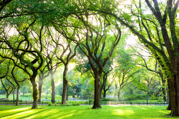 American Elms in Central Park - Stock Photo - Images
