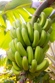 Close-Up Of Fresh Organic Green Banana Bunch at Farm - PhotoDune Item for Sale