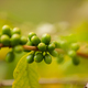 Close-Up Of Fresh Coffee Fruits Growing In Plantation - PhotoDune Item for Sale