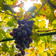 Close-Up Of One Grape Bunch At Organic Vineyard Against Sun - PhotoDune Item for Sale