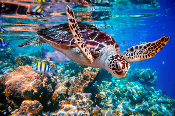 Sea turtle swims under water on the background of coral reefs - Stock Photo - Images