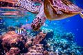 Sea turtle swims under water on the background of coral reefs - PhotoDune Item for Sale