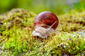 Helix pomatia also Roman snail, Burgundy snail - PhotoDune Item for Sale