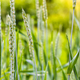 Summer background green wheat ears in sunlight - PhotoDune Item for Sale