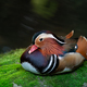 mandarin duck on mossy rock - PhotoDune Item for Sale