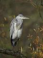 Grey Heron (Ardea cinerea) - PhotoDune Item for Sale