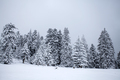 Snowy fir trees - PhotoDune Item for Sale