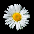 Blooming white daisy flower isolated on black - PhotoDune Item for Sale