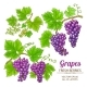 Grapes Vector Set - GraphicRiver Item for Sale