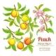 Peach Vector Set - GraphicRiver Item for Sale