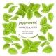 Peppermint Elements Set - GraphicRiver Item for Sale