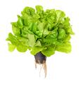 Salanova Green, living salad over white - PhotoDune Item for Sale