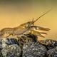 European crayfish on stoney riverbed - PhotoDune Item for Sale