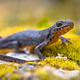 Alpine newt side view on moss and rocks - PhotoDune Item for Sale