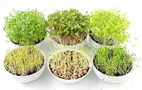 Six microgreens sprouting in white bowls, from above - Stock Photo - Images