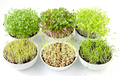Six microgreens sprouting in white bowls, from above - PhotoDune Item for Sale