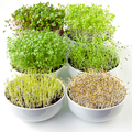 Microgreens sprouting in white bowls, vertical - PhotoDune Item for Sale